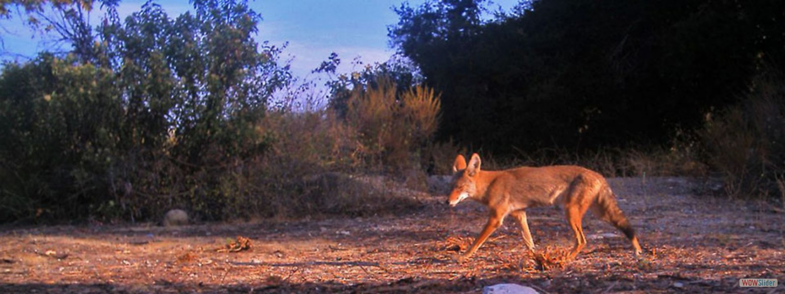 A coyote at dawn captured by a motion sensor wildlife camera