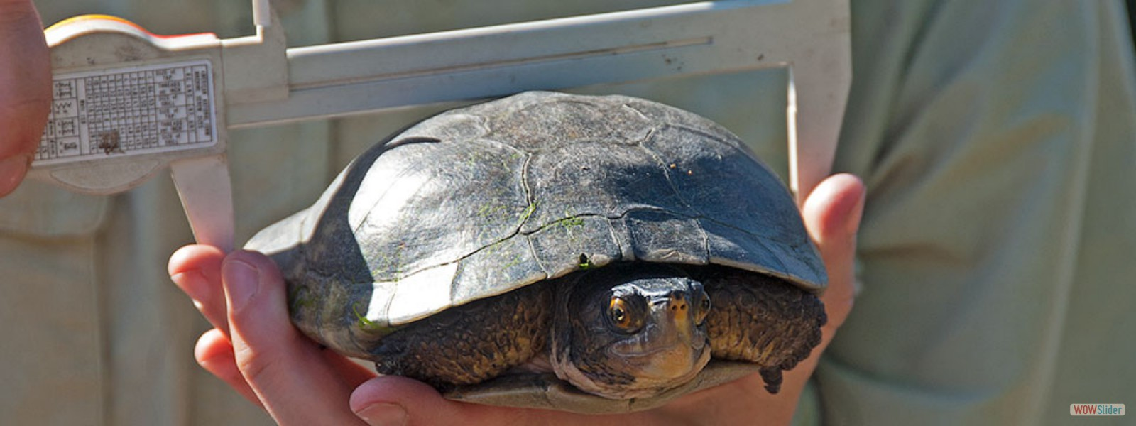 USGS Scientist Kathy Baumberger measures the carapace of a Western Pond Turtle
