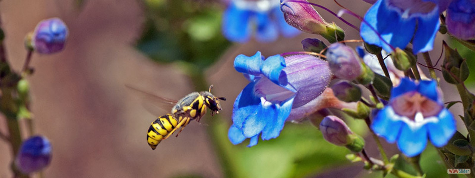 A pollen wasp, <em>Pseudomasaris vespoides</em>, visiting Royal Penstemon