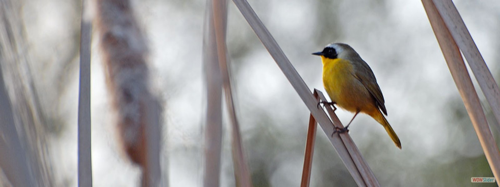 A Common Yellowthroat on cattails at pHake Lake